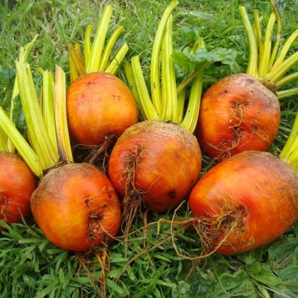 Ibišek syrský (Hibiscus syriacus) 10 semen