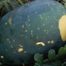 Meloun Moon&Stars - žlutý (Citrullus lanatus ) cca 10 semen