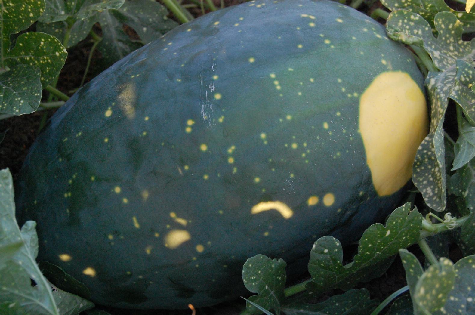 Meloun Moon&Stars - žlutý (Citrullus lanatus ) 5 semen