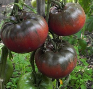 Rajče Black from Tula - černé (Solanum lycopersicum ) cca 15 semen