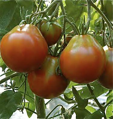 Rajče Japanese Trifele black - hruškovité (Solanum lycopersicum ) cca 15 semen