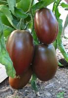 Rajče Ukrainian Purple - purpurové (Solanum lycopersicum ) cca 15 semen