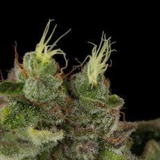 Bubba Kush - štandardizovaná semienka 10ks Humboldt