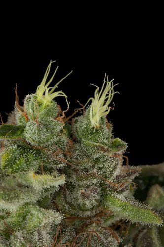 Bubba Kush - standardizovaná semínka 10ks Humboldt