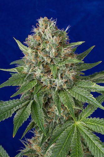 OG Kush - standardizovaná semínka 10ks Humboldt