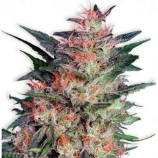 White Widow - feminizovaná semínka 3ks Dutch Passion