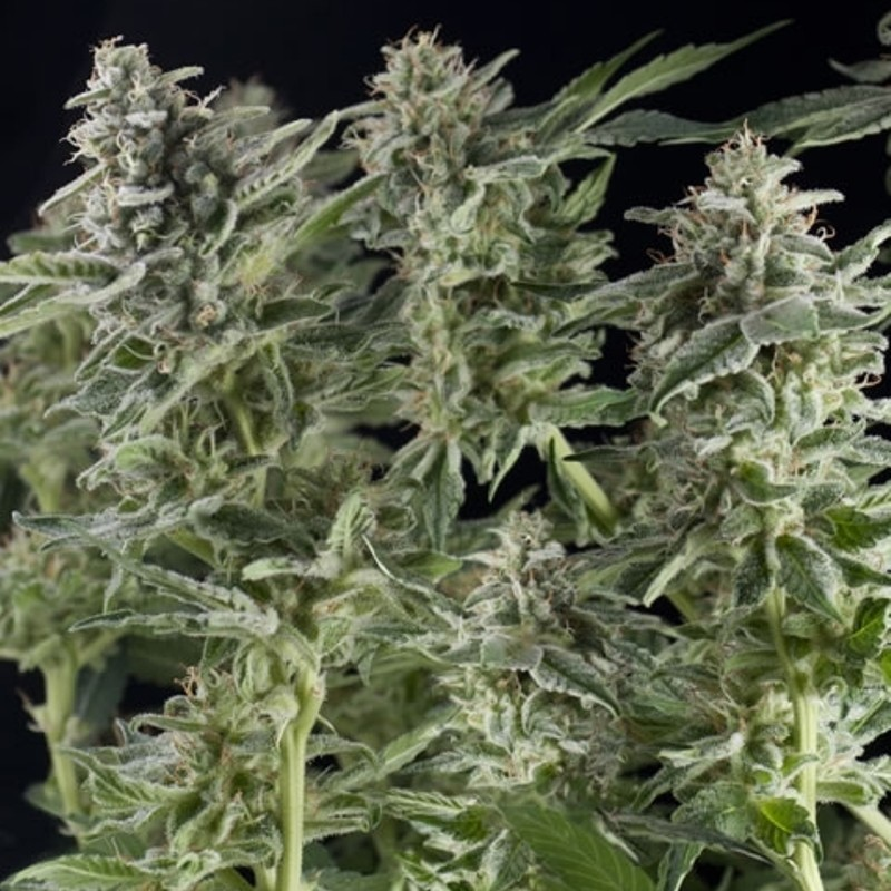 Northern Lights Auto - fem. a autoflowering semienka 6ks Natural Seeds