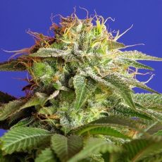 Green Poison Fast Version - feminizovaná semena 3ks Sweet Seeds
