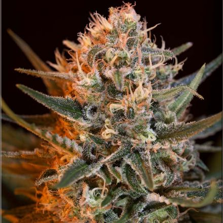 Black Jack Fast Version - feminizované semena 5 ks Sweet Seeds