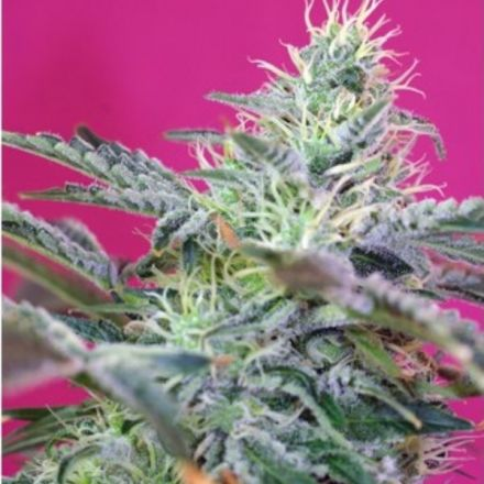 Sweet Cheese Fast Version - feminizovaná semena 3 ks Sweet Seeds