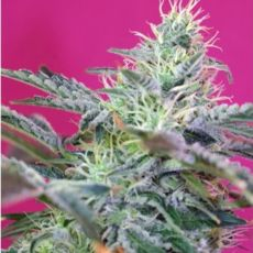 Sweet Cheese Fast Version - feminizovaná semena 10 ks Sweet Seeds