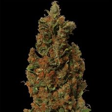 Red Diesel – feminizovaná semínka 5 ks Barney Farms