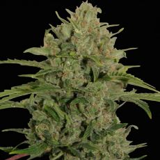 Triple Cheese - feminizovaná semena 5 ks Barney´s Farm
