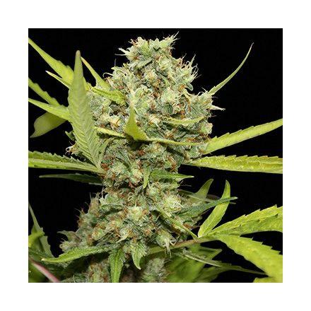 Pineapple Chunk – feminizované semienka 5 ks Barney Farms