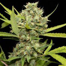 Pineapple Chunk – feminizovaná semena 10 ks Barney Farms