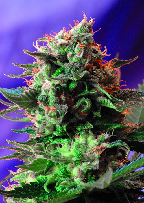 Jack 47 Fast Version - feminizovaná semena 3 ks Sweet Seeds