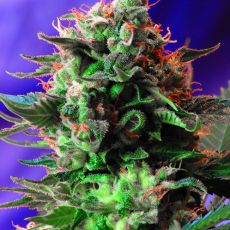 Jack 47 Fast Version - feminizovaná semena 10 ks Sweet Seeds