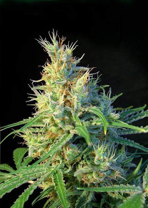 Psicodelicia – feminizovaná semínka 3 ks Sweet Seeds