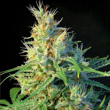 Psicodelicia – feminizované semienka 5 ks Sweet Seeds