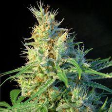 Psicodelicia – feminizované semienka 10 ks Sweet Seeds