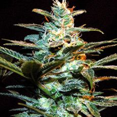 Ice Cool – feminizovaná semínka 3 ks Sweet Seeds