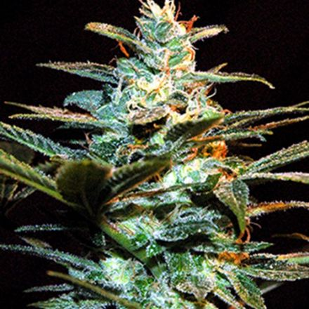 Ice Cool – feminizovaná semínka 10 ks Sweet Seeds