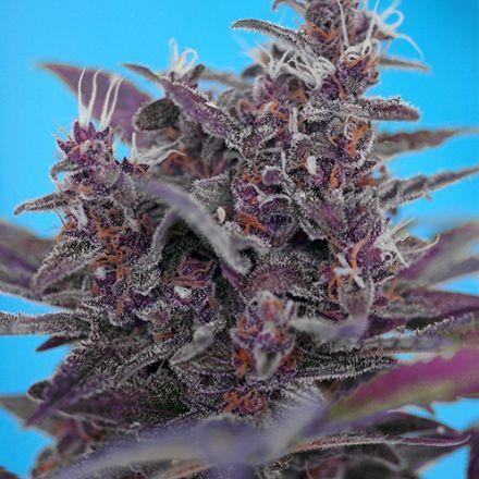 Black Cream Auto - fem. a samonakvétací semínka 3ks Sweet Seeds