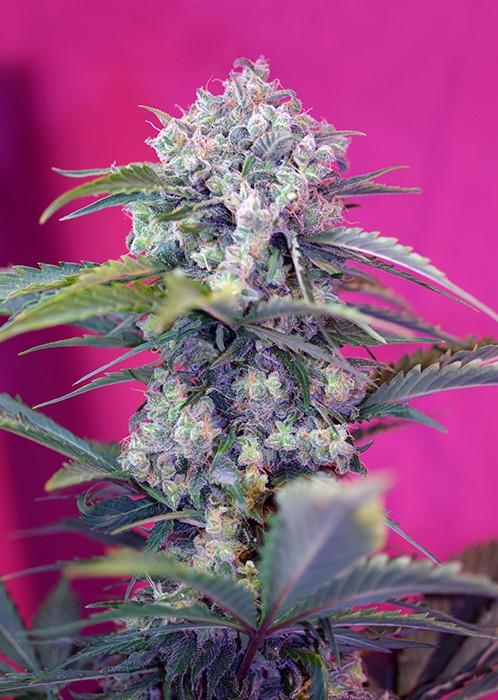 Cream Mandarine Auto - fem. a autoflowering semienka 3ks Sweet Seeds