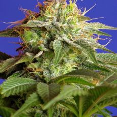 Green Poison – feminizovaná semínka 3ks Sweet Seeds