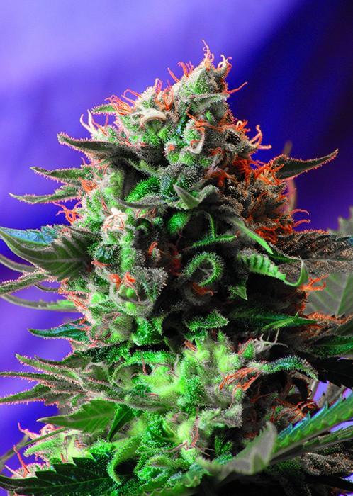 Jack 47 – feminizovaná semínka 3 ks Sweet Seeds