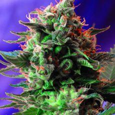 Jack 47 – feminizovaná semínka 5 ks Sweet Seeds