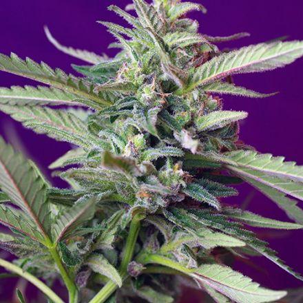 S.A.D. Auto – 10 ks autoflowering semínek Sweet Seeds