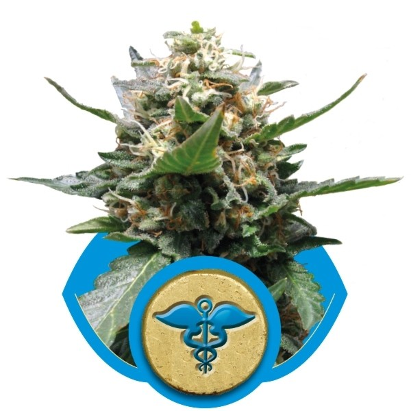 Royal Medic - feminizovaná semínka 3ks Royal Queen Seeds