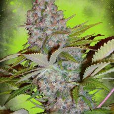 Auto Cheese NL - autoflower semínka 5 ks Ministry od Cannabis