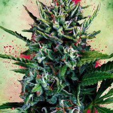 Auto Silver Bullet autoflowering semínka 5ks Ministry of Cannabis
