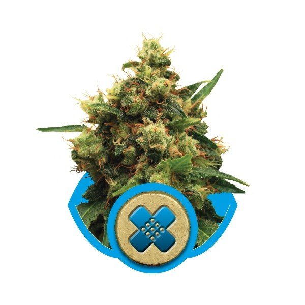 Painkiller XL - feminizovaná semínka 3 ks Royal Queen Seeds