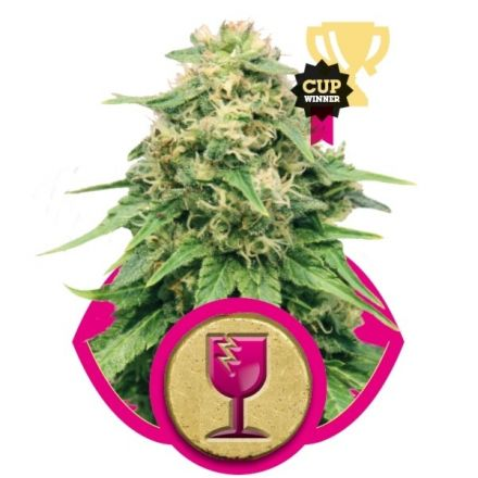 Critical 10 ks feminizované semienka Royal Queen Seeds