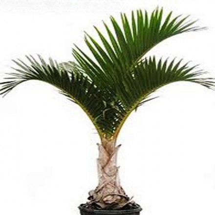 Palma Vretenová (rastlina: Hyophorbe verschaffeltii) - 4 semená