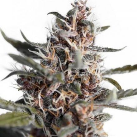 AutoBlackberry Kush - fem. a samonakvétací semena 7ks Dutch Passion