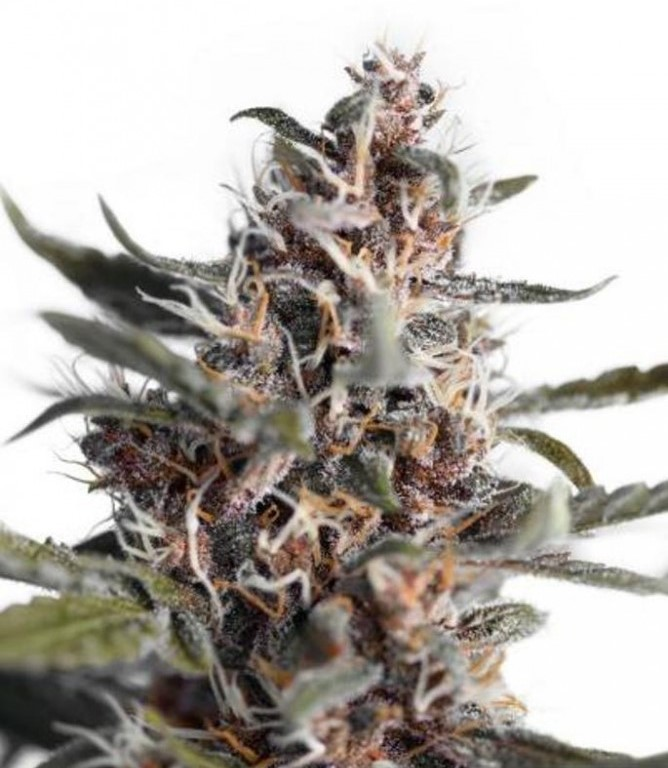 AutoBlackberry Kush - fem. a samonakvétací semínka 7ks Dutch Passion