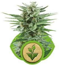 Easy Bud - fem. a samonakvétací semínka 3ks Royal Queen Seeds