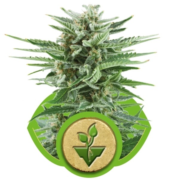 Easy Bud - fem. a samonakvétací semínka 5ks Royal Queen Seeds