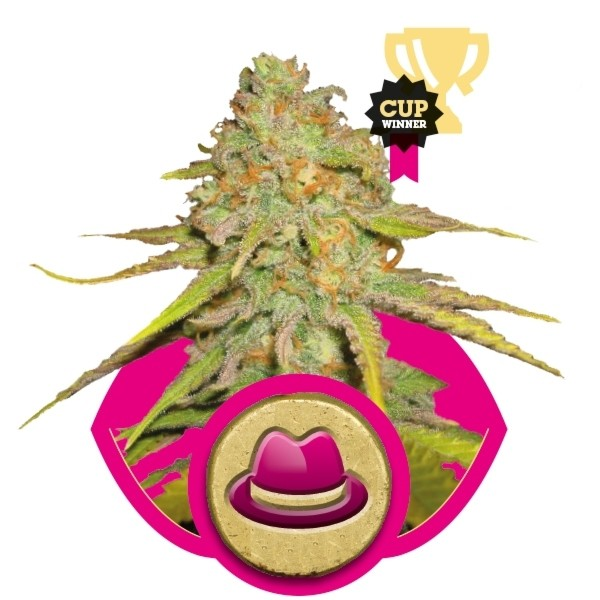 O.G. Kush - feminizované semienka 3ks Royal Queen Seeds