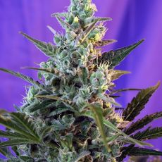 Sweet Skunk Fast Version – 3 ks samonakvétací semínek Sweet Seeds