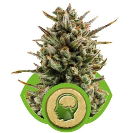 Amnesia Haze Automatic - fem. a autoflowering semienka 10ks Royal Queen Seeds