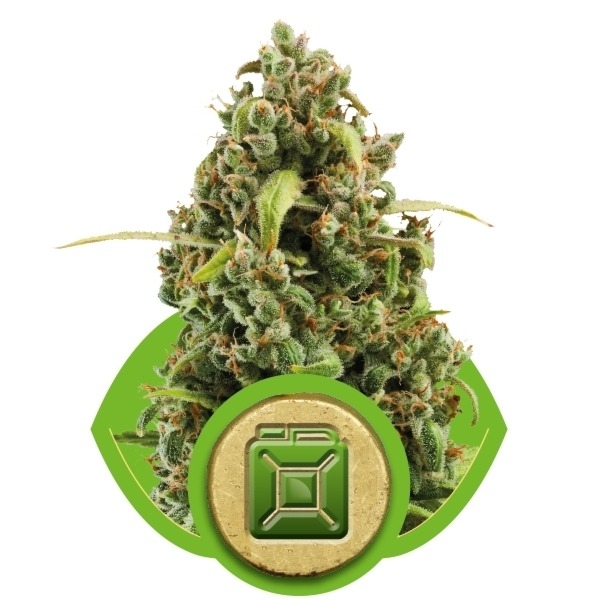 Diesel Automatic - fem. a samonakvétací semínka 5ks Royal Queen Seeds