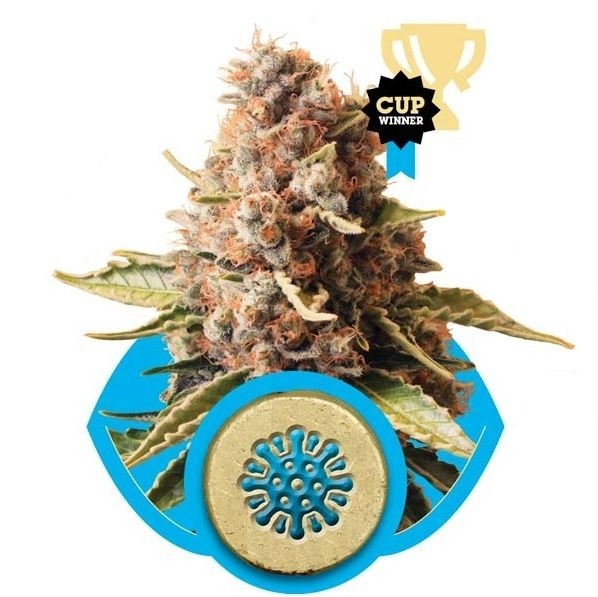 Euphoria - feminizovaná semínka 5 ks Royal Queen Seeds