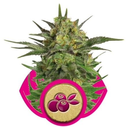 Haze Berry - feminizovaná semena 3ks Royal Queen Seeds