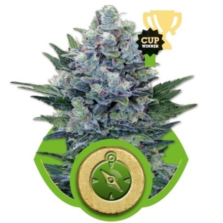 Northern Light Automatic - fem. a autoflowering semienka 3ks Royal Queen Seeds