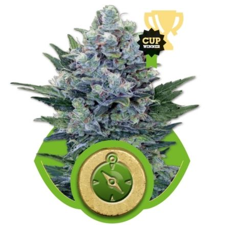 Northern Light Automatic - fem. a samonakvétací semínka 5ks Royal Queen Seeds